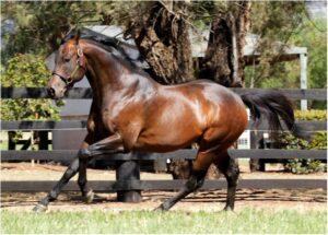 Super stallion I Am Invincible. Photo: Yarraman Park.