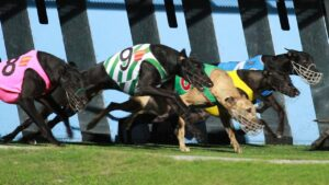 Greyhounds ping the lids in a race at Albion Park in Brisbane. Picture: Marc Robertson