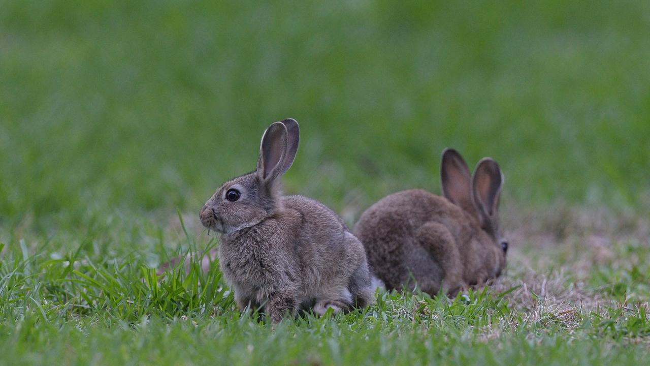A Victorian greyhound trainer was found guilty of attempting to source wild rabbits.