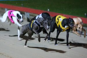 Racing at the Dapto Dogs.